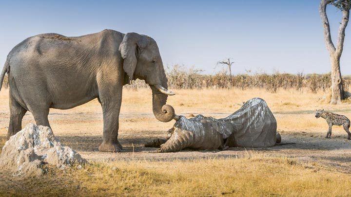 فيل حزين على موت احد افراد عائلته