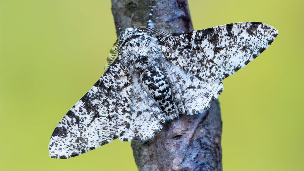 "العث المتخللة ""Peppered moth"""