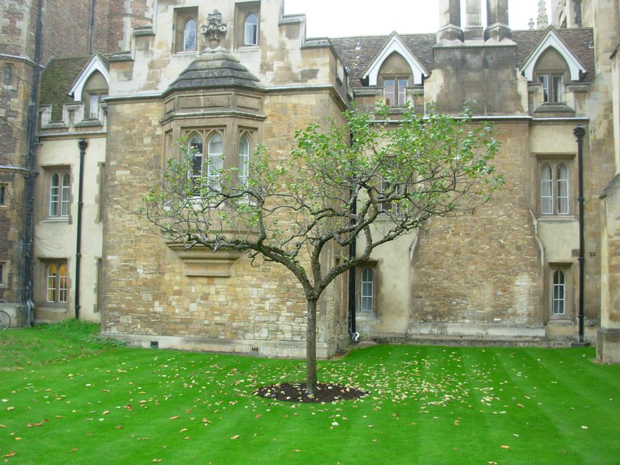 سليلة من شجرة (نيوتن) الأصلية في كلية (ترينيتي) -الثالوث- في جامعة (كامبريدج)