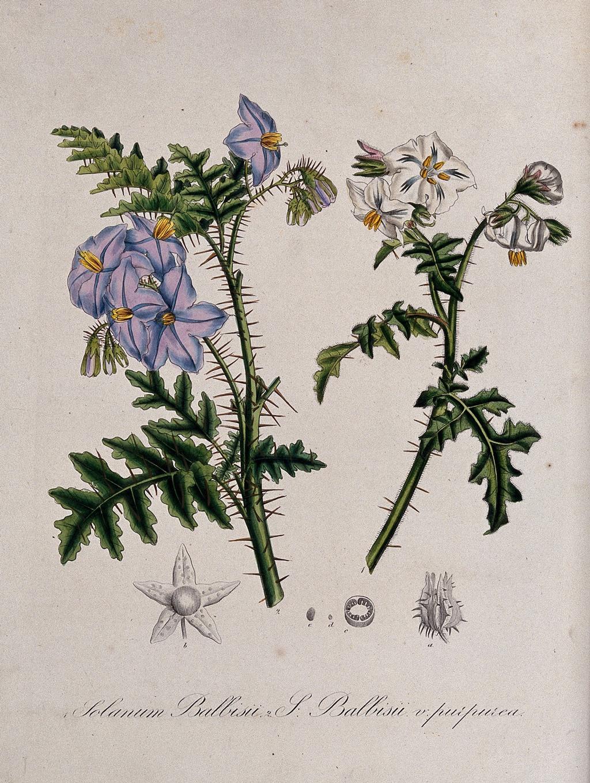 نباتات مهيجة للجلد.
