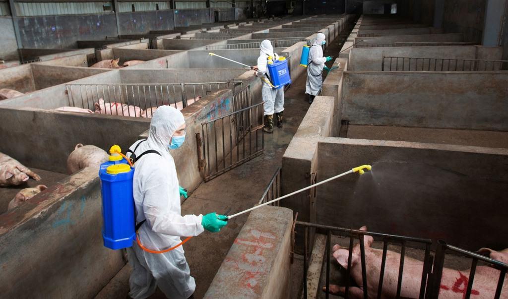 مزارع الخنازير الصينية