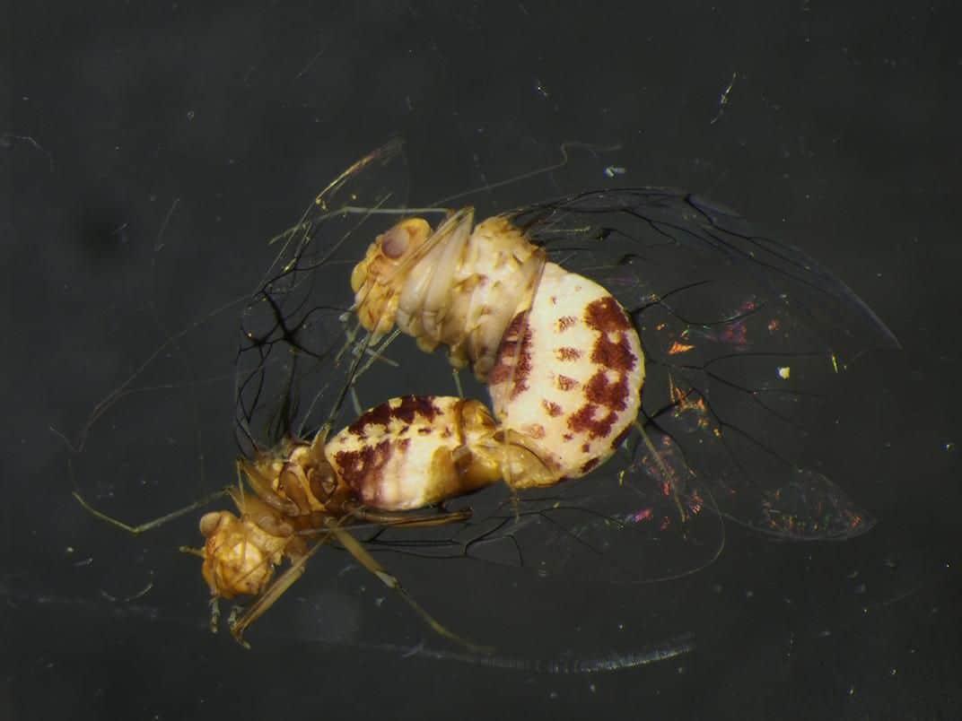 اثنتان من حشرات Neotrogla Barklice يتزاوجان داخل مخبر.