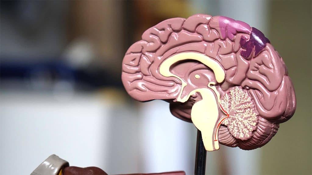 الدماغ البشري.