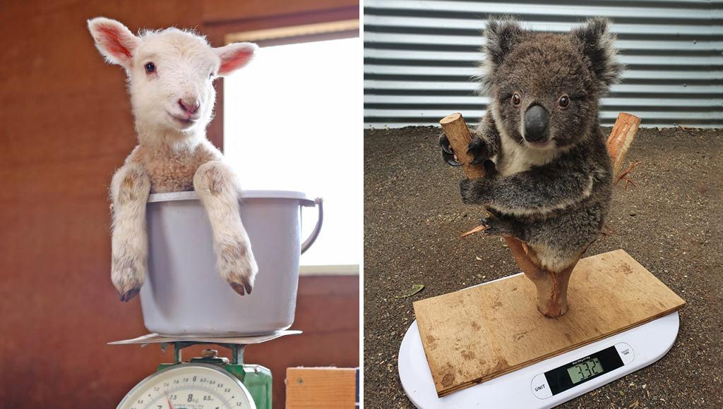 وزن الحيوانات