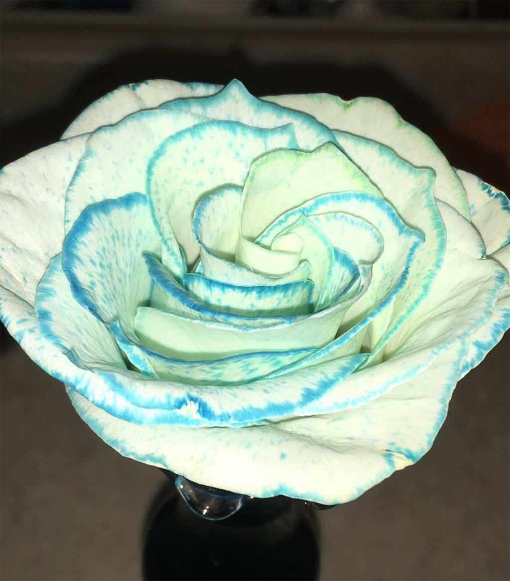 ماذا يحدث إذا وضعت ملون الطعام الأزرق في ماء الورد الأبيض